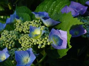 Hydrangea macrophylla 'Blue Cassel' - Blue Cassel Big Leaf Lacecap Hydrangea