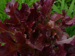 Lettuce 'Red Salad Bowl'