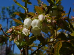 HIghbush blueberry flowers