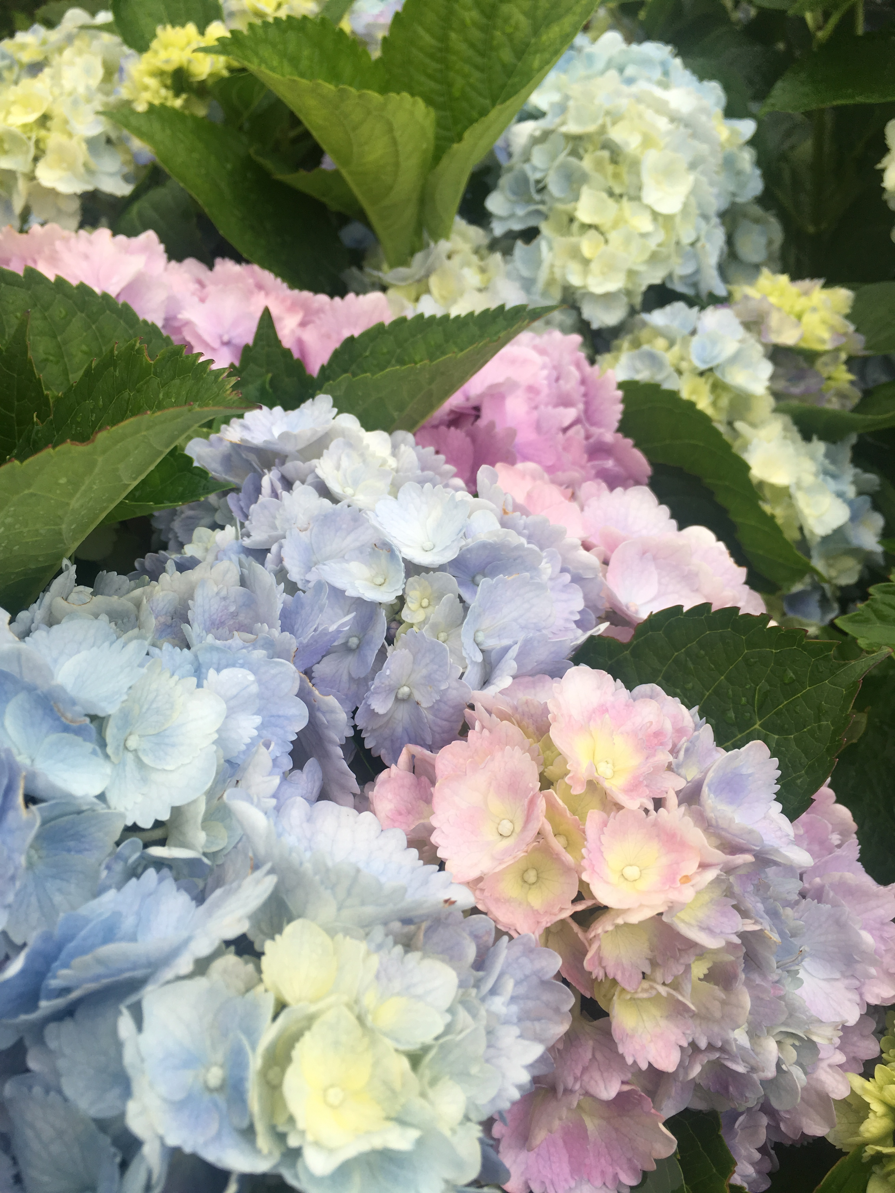 Not all Hydrangeas are able to change their flower color in the same way. Mop head Hydrangeas, Hydrangea macrophylla (the ones with big, round, ...