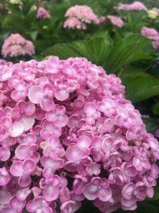 Hydrangea flower color surfing hydrangea nursery inc - Nature curiosity stressed out plants emit animal like signals ...