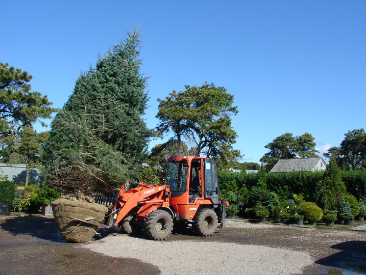 Big Tree 009