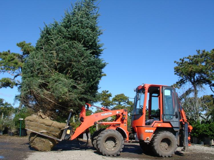 Big Tree 010