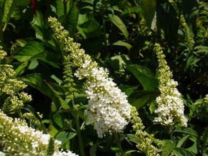 Buddleia davidii 'White Profusion'  - White Profusion Butterfly  Bush