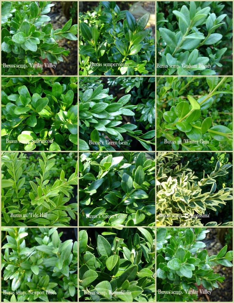 Buxus collage