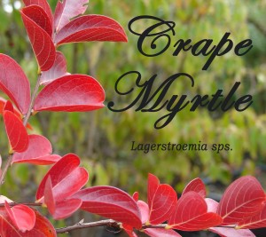 Crape Myrtle for Fall advert-001-Edit