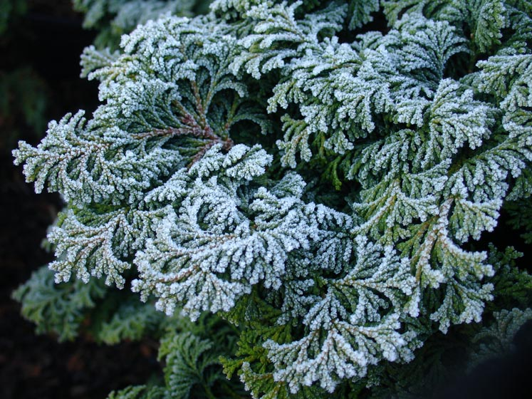 Frost on Chamaecyparis