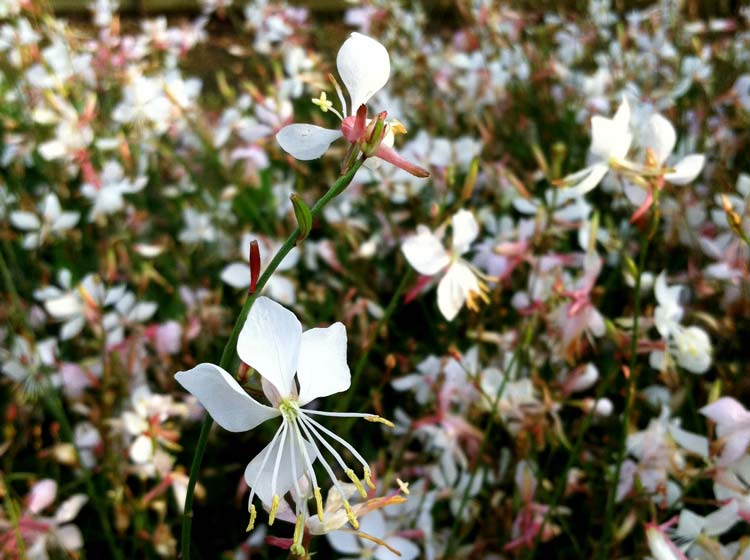 Gaura lindheimeri 'Snow Fountain'