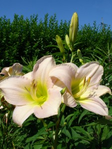 Hemerocallis 'Catherine Woodbury'