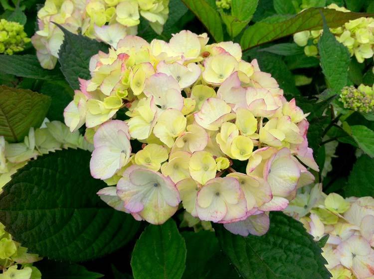 Hydrangea-mac-Pink-Beaurty