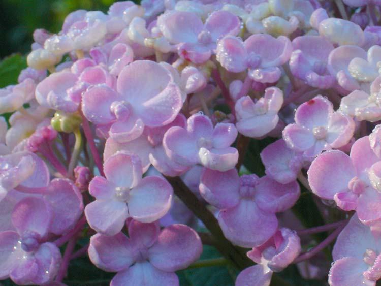 Hydrangea-macrophylla-Ayesha
