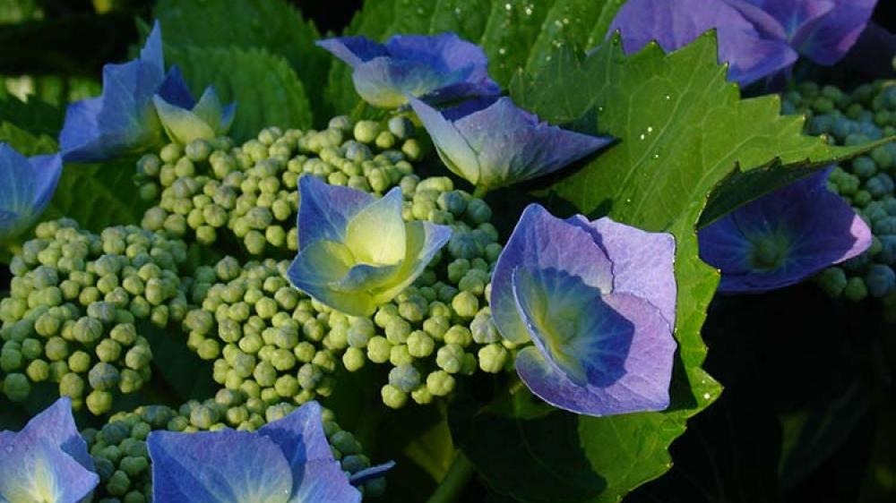 Hydranges-macrophylla-Blue-Cassell
