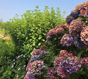 Perennials Archives - Surfing Hydrangea Nursery, Inc