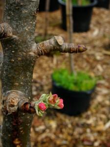 Malus 'Scarlet Sentinel' - Scarlet Sentinel Pole Apple