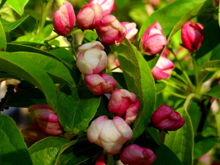 Malus x zumi 'Calocarpa' flower buds