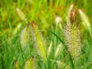 Pennisetum alopecuroides 'Hameln' flowers