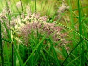 Pennisetum orientale 'Karley Rose' - Karley Rose Oriental Fountain Grass