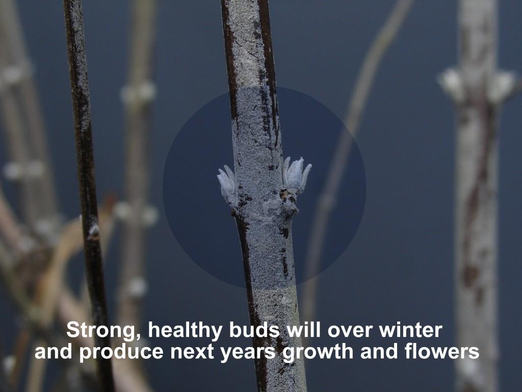 Perovskia atriplicifolia healthy dormant buds-1