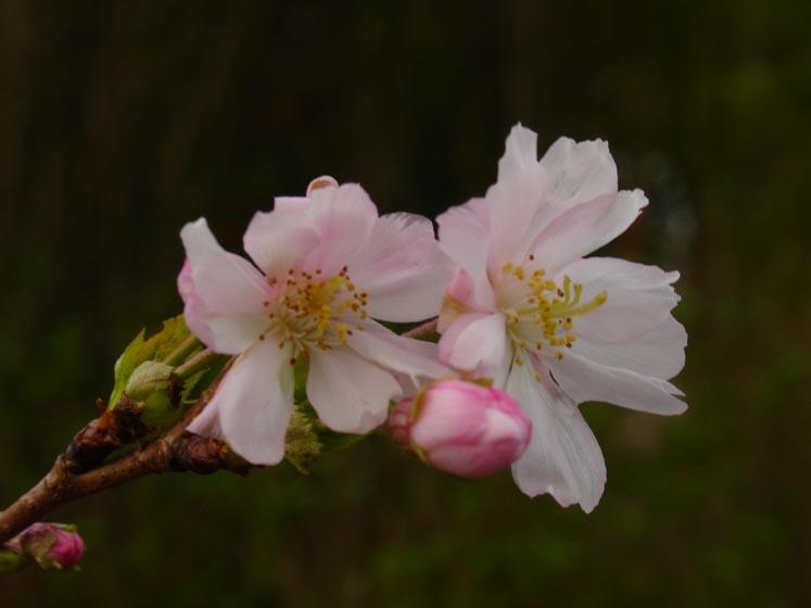 Prunus autumnalis flowers