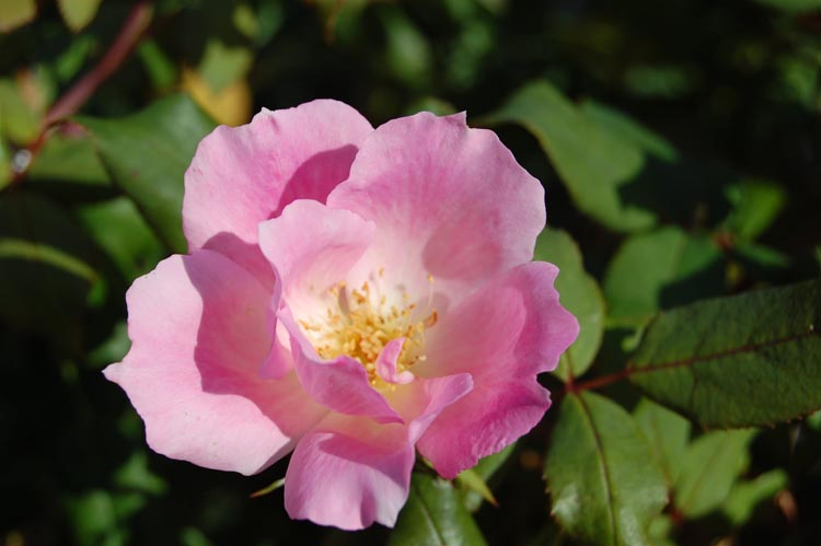 Rosa 'Blushing Knock Out'
