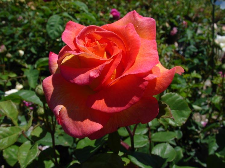 Rosa 'Mardi Gras'