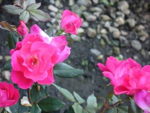 Rosa 'Pink Knockout'