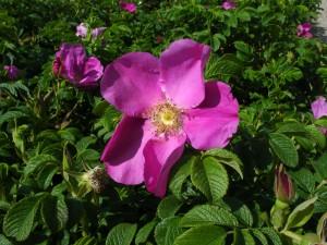 Rosa rugosa-1