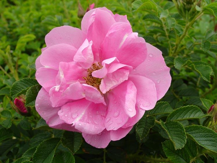 Rosa rugosa 'Jens Munk'