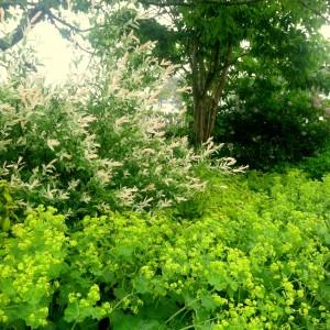 Salix 'Hakuru Nishiki' and Alchemilla