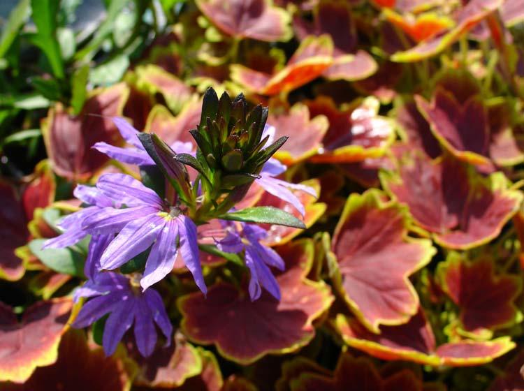Scaevola-with-Pelargonium-'Vancouver-Sentinel'