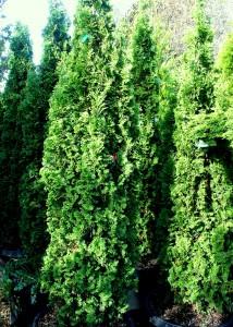 Thuja occidentalis 'Degroot's Spire' - Degroot's Spire arborvitae