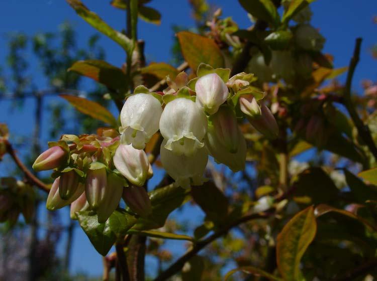 Vaccinium Corymbosum Flowers