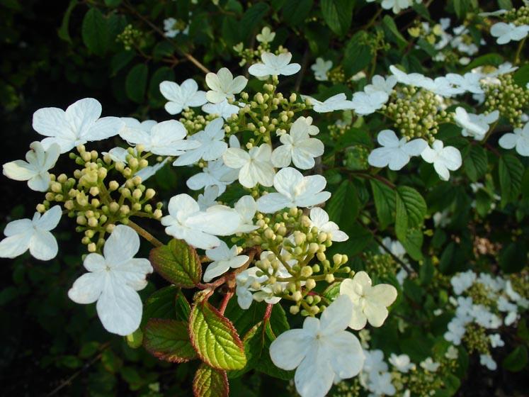 Viburnum summer snowflake