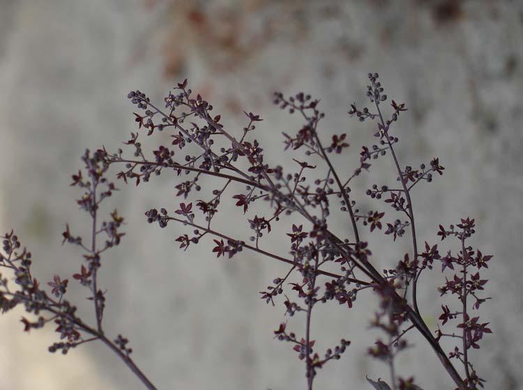 Xanthorhiza Simplicissima Flowers