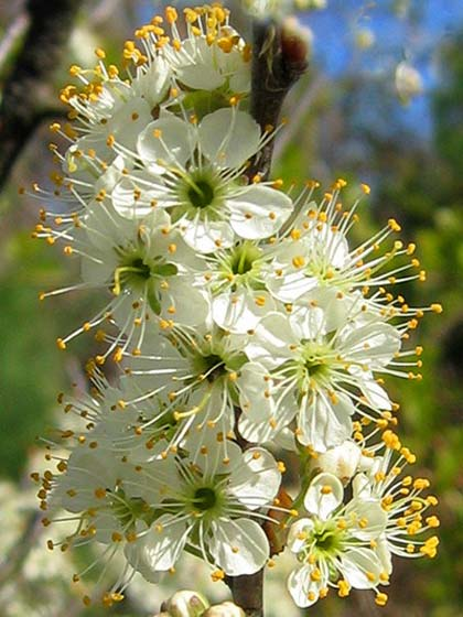 Beachplum Flower